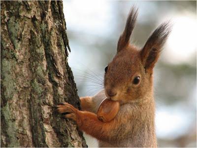O esquilo – resumo sobre os encantadores esquilos