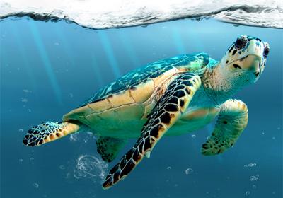 As tartarugas marinhas