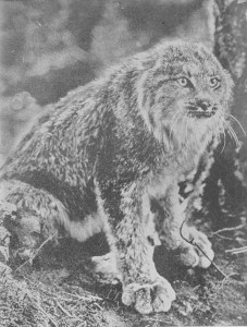 O LINCE DO CANADÁ (Lynx canadensis) Fotografia apanhada no momento em que o animal estava sendo acossado por fox-terriers.