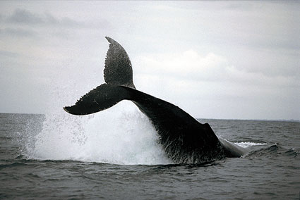 baleia-cauda